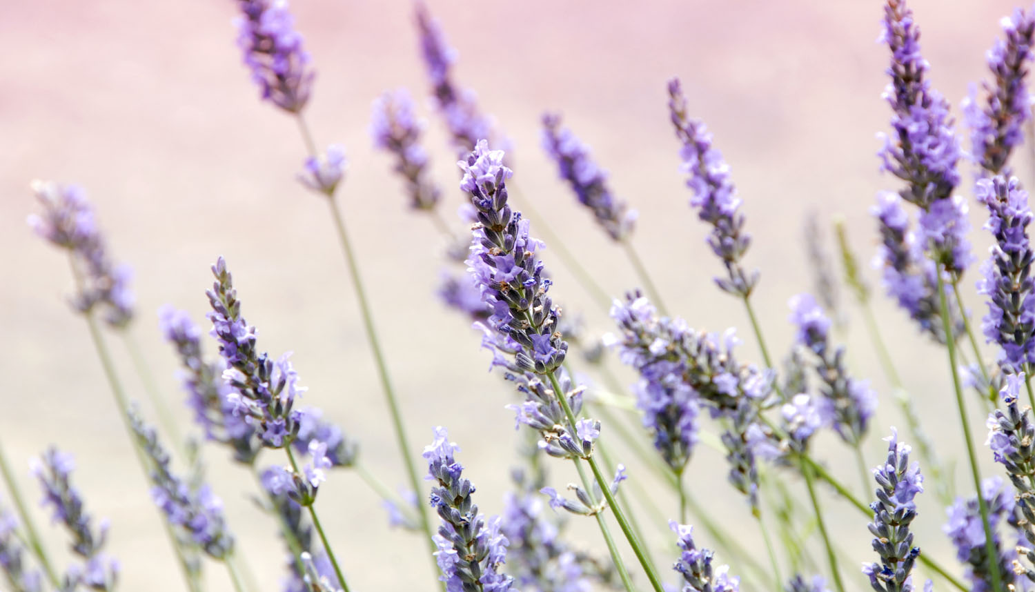 A Purple Lavender Field Representing Different Lavender Tea Benefits